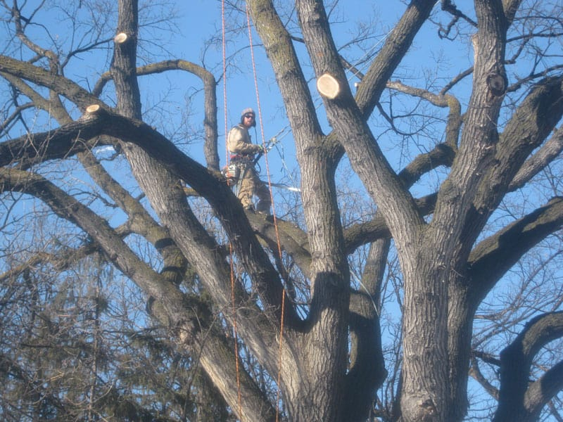 Tree pruning in Winnipeg is available from the experts at Kildonan Tree Service.