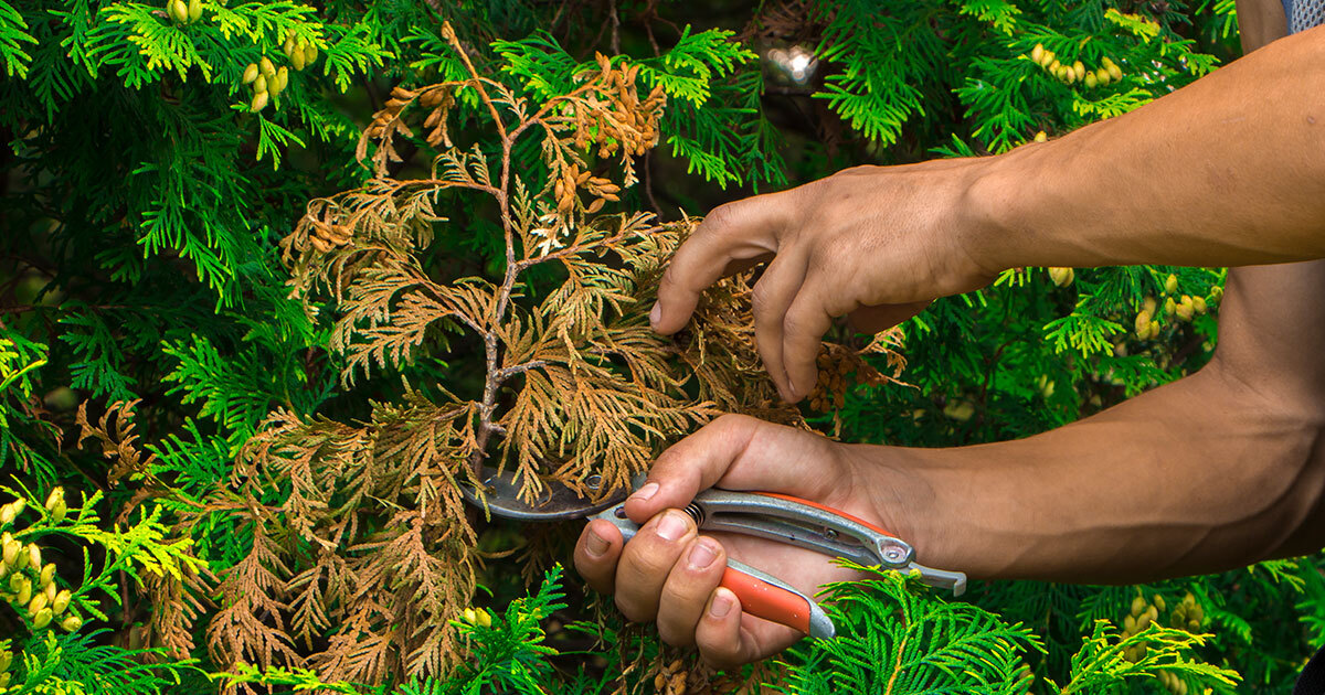 Man holding clippers and trimming away a bush, tips and steps to protect greenery during the winter season