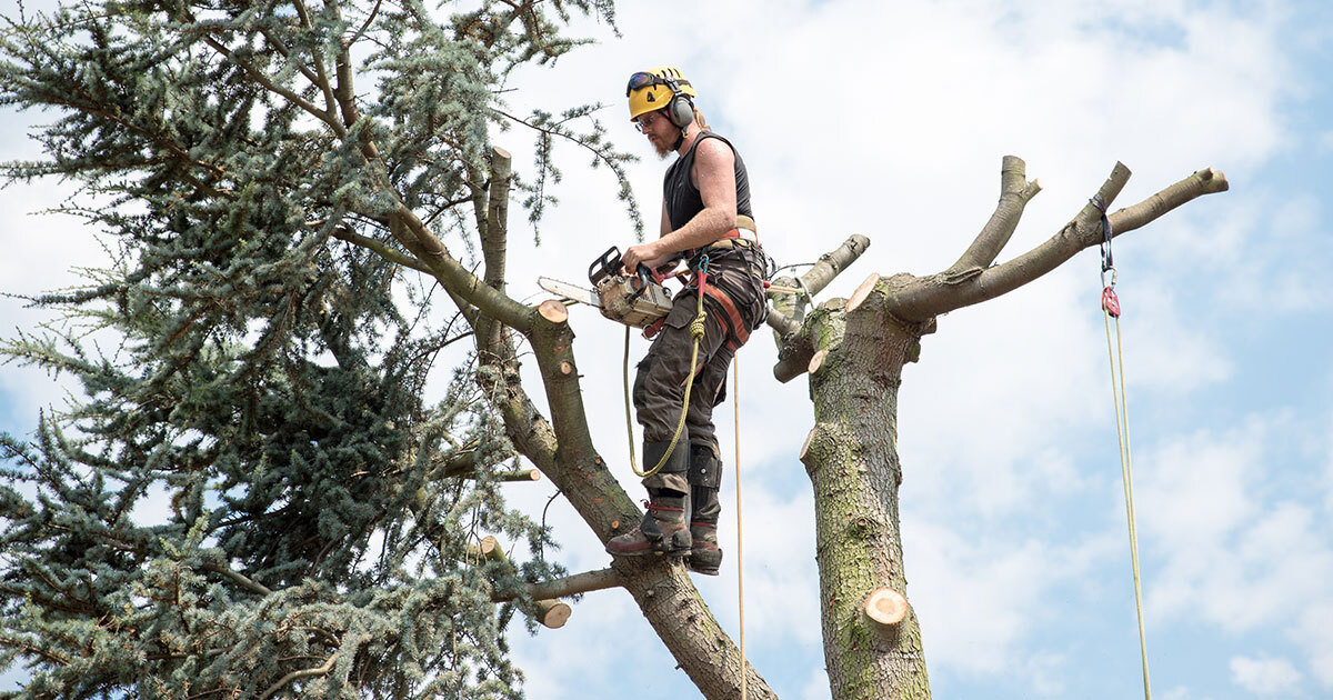 Man / Arborist standing on top of the tree trimming the tree down.